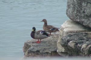 A Rest from Flight (Mallard Ducks)